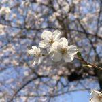 iPhone7 Plusのポートレートモードで桜を撮影、少し工夫が必要